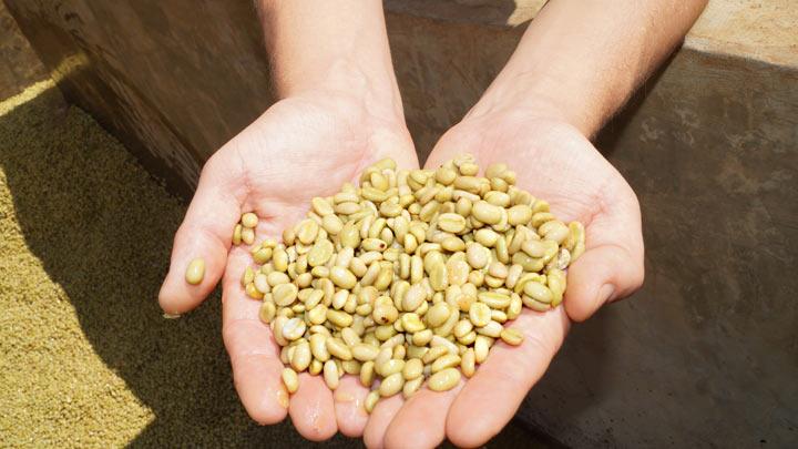 Эфиопия зелёный мытый кофе влажная обработка в руках зёрна