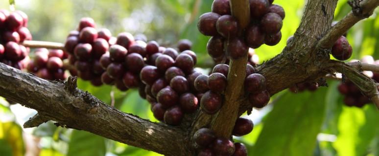 ягоды робусты на дереве кофе
